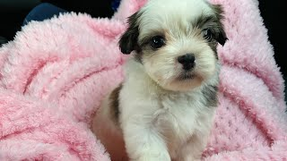 Bringing my first pet home  Bebe the Malshi