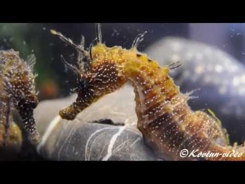 © Красота! Морские лошадки!!! Морской конек (Hippocampus hippocampus) // Long-snouted seahorse