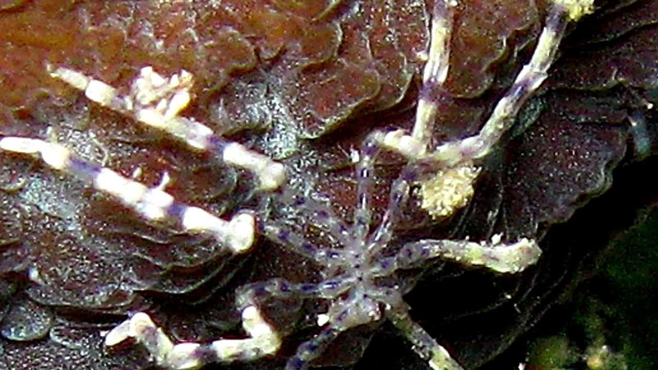 Sea Spiders -- no change over 160 million years by CMIcreationstation