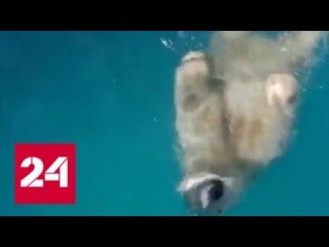 Скитания белой медведицы по Норильску закончились - Россия 24