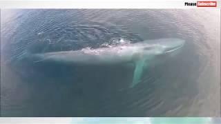 Самое большое в мире животное - синий кит.