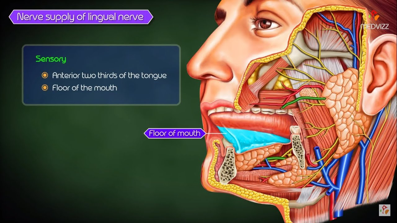 lingual nerve gross anatomy anatomy head and neck medical animations [ 1280 x 720 Pixel ]
