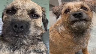 BEST MOMENTS OF BORDER TERRIERS 2020