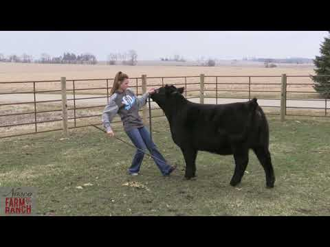 Beef Cattle Showmanship Tips From Nasco & CD Show Cattle