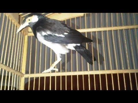 Ciri Ciri Dan Cara Membedakan Jantan Dan Betina Burung Jalak Suren