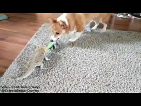 Tug Off War: Between A Dog and A Bearded Dragon