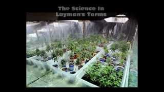 Cannabis Flowering: Using Proper Marijuana Lights In Grow Rooms And Outdoors