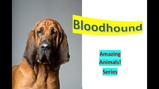 Bloodhound  Pet Dogs  large scent hound, originally bred for hunting deer  wild boar