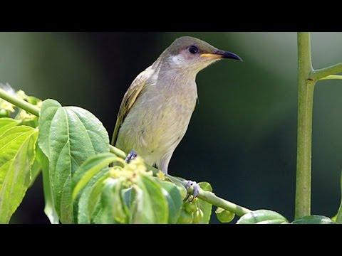 Tutorial Mengenal Burung Cucak Kombo