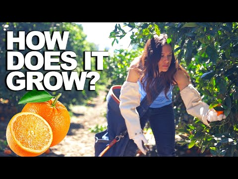 ORANGE | How Does it Grow?