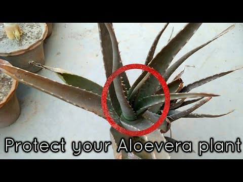 why  Aloevera plant turning brown // Care and tips for Aloe Vera