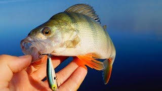 Ловля окуня на воблер Strike Pro Midge Рыбалка на окуня
