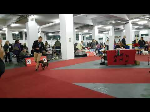 Miniature Bull Terrier - MBT Ulla on Terrier club Zagreb Speciality show 24.11.2017.