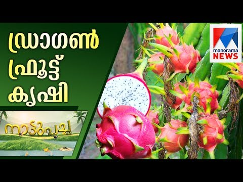 Success story in Dragon fruit farming from Trivandrum | Manorama News