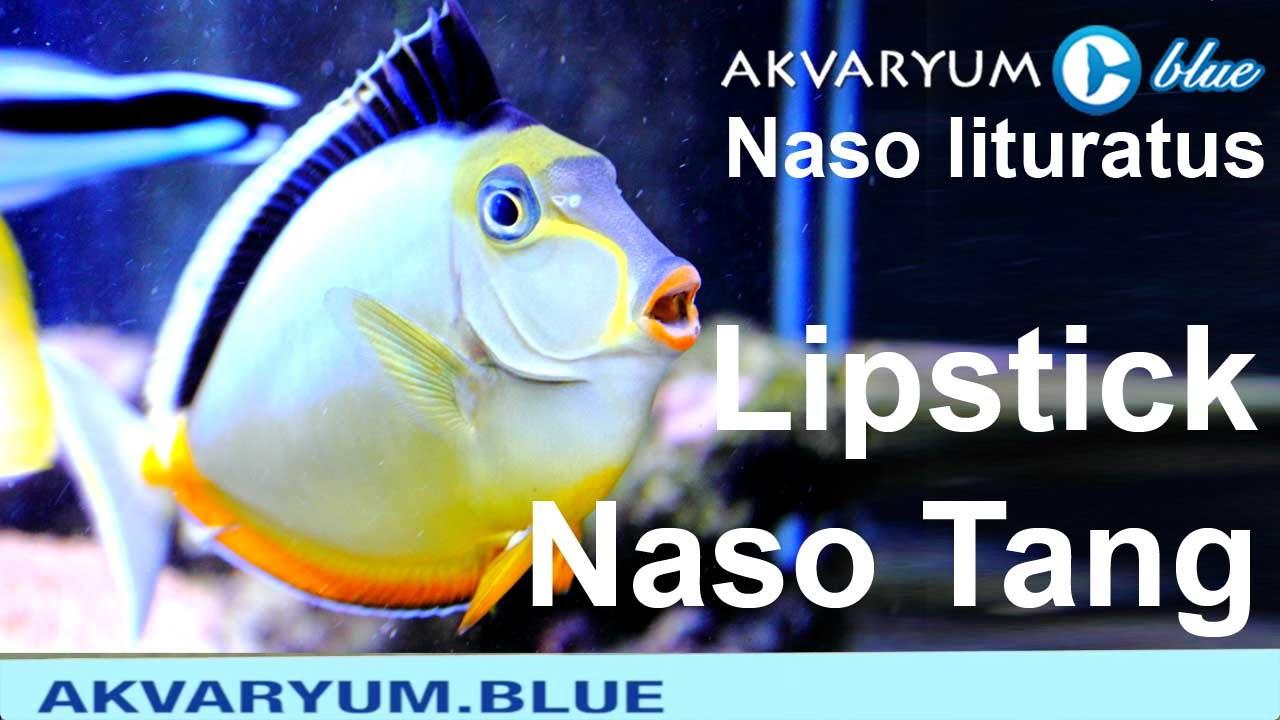 Naso lituratus - Lipstick Tang - Naso Tang - YouTube