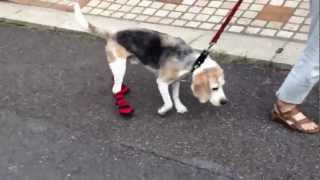 Mellow The Beagle Wearing The First New Shoes After Neil Injury 靴を履いて歩く練習