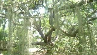 Angel oak in Beaufort County
