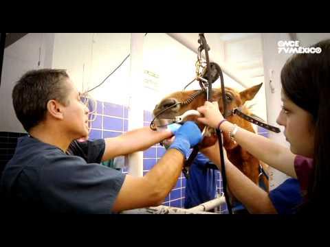 Hospital Veterinario - Programa 1, Yegua Lucero (18/09/2012)