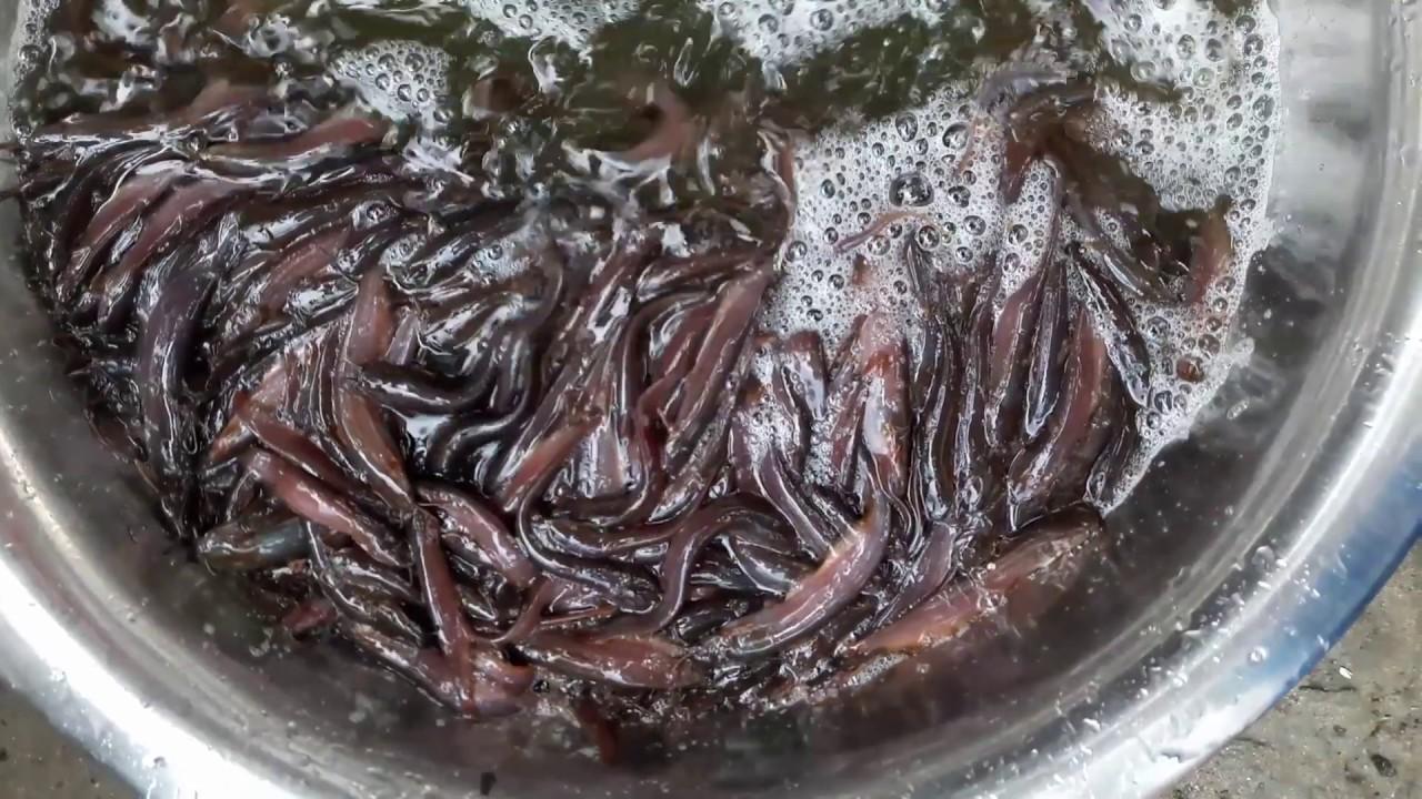 Live Deshi Shing Fish Seeds - Playxem com