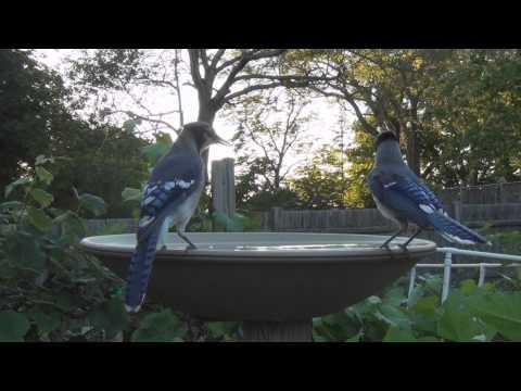 Black Capped Chickadee Goldfinch Blue jays