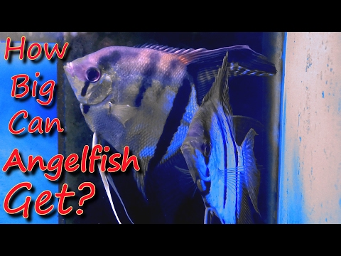 How Big Can Angelfish Get??