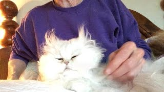 16 02 16 Persian kitty, Tiny Bear, gets a ruff trim