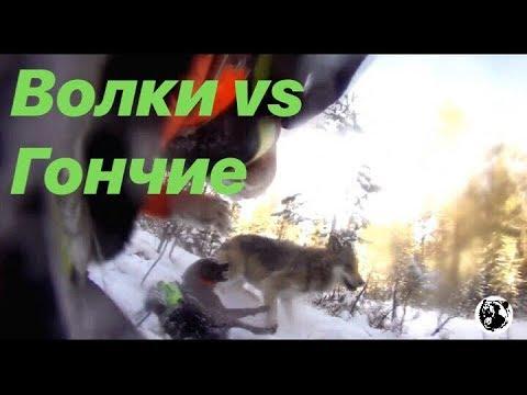 Волки нападают. на Гончих во время охоты.