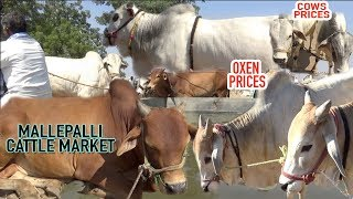 Cattle Market in Mallepalli, Cows and Oxen prices | Sunday cattle mandi in Mallepally
