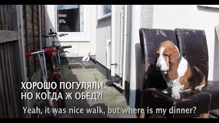 Английская порода Бассет - English Basset Hound