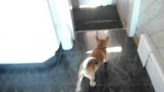 Shiba Inu puppy ringing bell to go potty outside