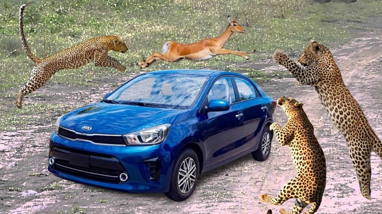 The Leopard Attacks The Impala.  Leopard Jumped Over The Car, Leopard, Impala,Wild dog, Crocodile