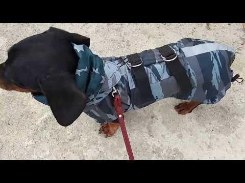 Одежда для собаки в дождь и грязь. Такса в Попоне Shtorm.