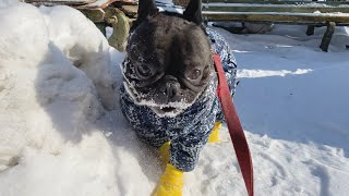 French bulldog had to walk in the cold