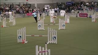 Riley the whippet's 2019 AKC Agility Invitational