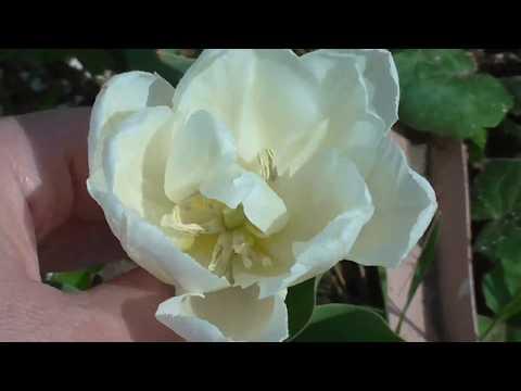 Особенности выращивания тюльпанов на Урале (Часть 2)