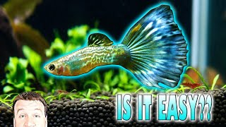 Caring for Guppies is Easy. THIS IS A GIANT LIE!!