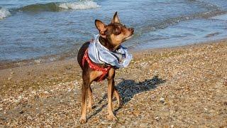 Russian toy Terrier - Iazz. Російський той-тер'єр, звір, а не собака!