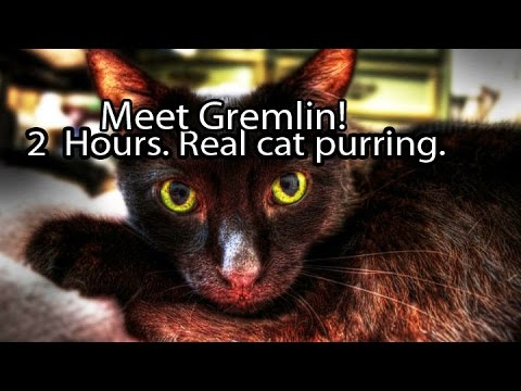 Manx Cat Purring for 2 Hours - Relaxation