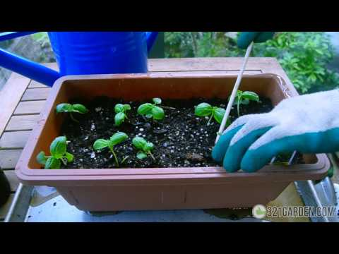 Secrets To Planting Basil At Home Complete Guide
