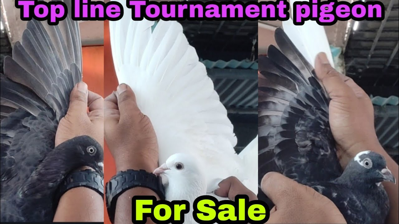 Top Tournament pigeon for sale 7899984001
