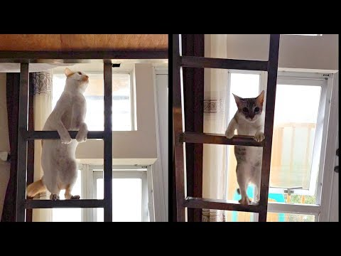 ✰Young KITTEN Follows Big BROTHER Up the LADDER! (Helpppp!) 😂