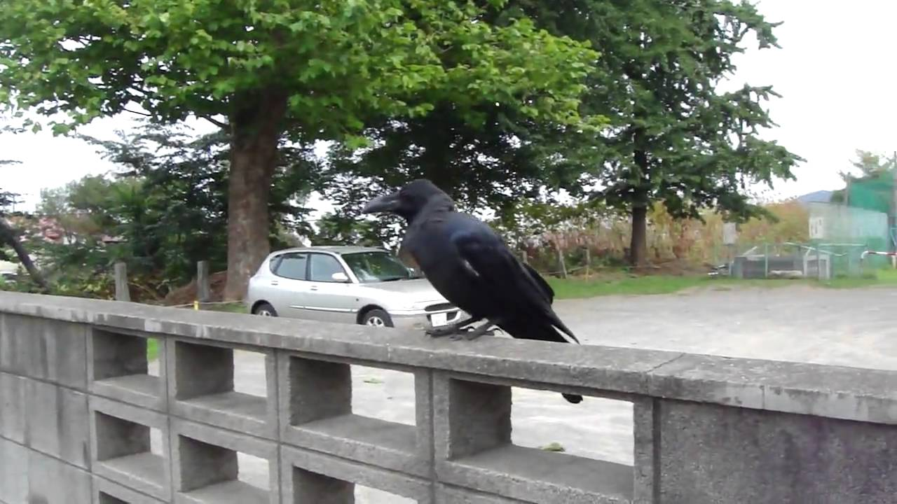 Japanese Ravens 2 Youtube