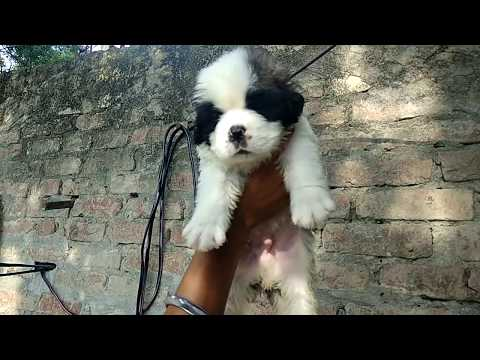 Pet Care - visit to a Dog Farm-Show Quality Saint Bernard puppies on sale F15K, M 20k -DOGGYZ WORLD-