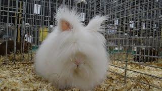 Кролик — Карликовая ангора с голубыми глазами