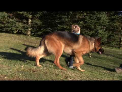 Protection Dog - Toddler with Kraftwerk K9 Protection Trained German Shepherd