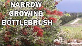 SLIM™ Callistemon naturally narrow growing bottlebrush | Ozbreed Native Shrubs & Groundcovers