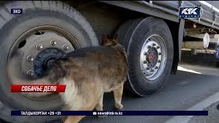 Собака обнаружила особо крупную партию наркотиков в колесе автомобиля