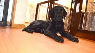5 Months Old Black Labrador Retriever And 3 Months 3 Weeks Old Great Pyrenees Puppies Walk Time
