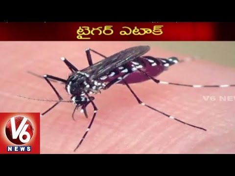 Tiger Mosquito Attack on Hyderabad   Doctors Warn Outbreak Of Aedes aegypti Mosquitoes   V6 News