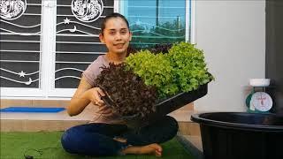 สอนปลูกผักสลัดในกะละมัง/Hydroponic Box 2019